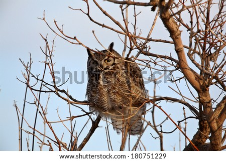 GreatHorned Owl perched in tree - stock photo