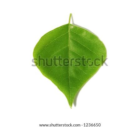 Gree leaf on white background. - stock photo