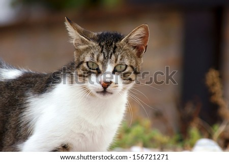 Greek gray and white cat