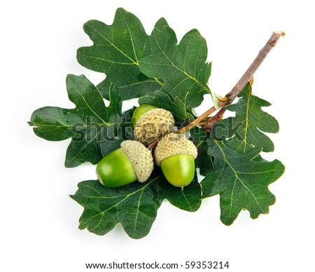green acorn fruits with leaves isolated on white background - stock photo