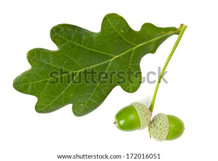 green acorn isolated on white background  - stock photo