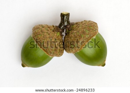 Green acorns - stock photo