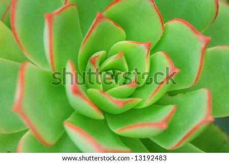 Green Aeonium Background - stock photo