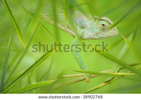 Green African Chameleon hiding in a green thicket - stock photo