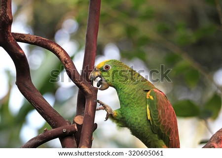 Green African parrot with open mouth - stock photo