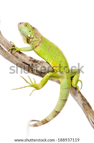 green  agama crawling on dry branch. isolated on white background - stock photo