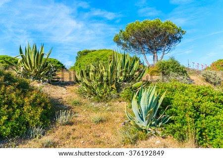 Green agave plants on meadow with pine tree in background, Algarve region, Portugal - stock photo