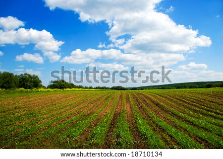 Green agricultural sow field and blue sky in country at nice summer day in Russia