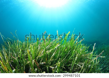 Green Alga Grass Underwater - stock photo