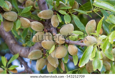 Green almonds on an almond tree