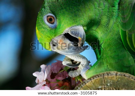 Green amazon parrot with a branch of cherry blossom - stock photo