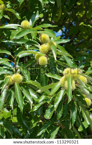 green american chestnuts on a tree - stock photo