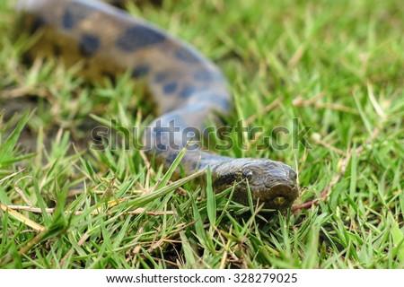 Green anaconda (Eunectes murinus). Las Pampas de Yacuma National Park, Amazon, Bolivia - stock photo