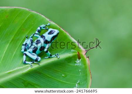 Green and Black Poison Dart Frog (Dendrobates auratus), Costa Rica - stock photo