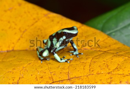 green and black poison dart frog or poison arrow frog aka  Dendrobates auratus . sarapiqui, costa rica