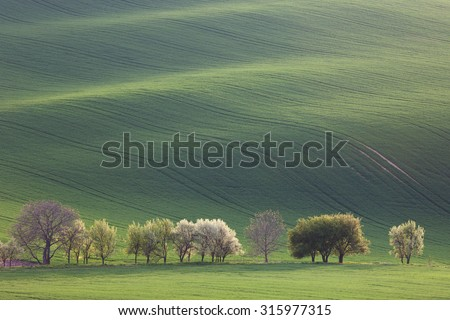 Green and Blossom Trees overlooking rolling hills with fields in sunset light suitable for backgrounds or wallpapers, natural minimalism landscape, South Moravia, Europe - stock photo