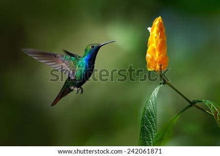 Green and blue Hummingbird Black-throated Mango, Anthracothorax nigricollis, flying next to beautiful yellow flower - stock photo