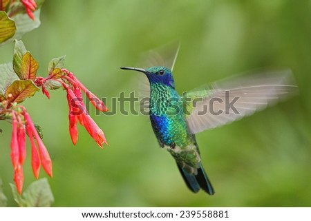 Green and Blue Hummingbird Sabrewing flying next to beautiful red flower - stock photo