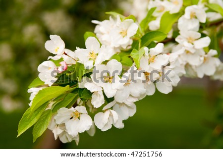 Green and bright spring apple blossom tree