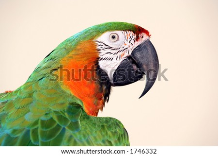 Green and gold macaw closeup