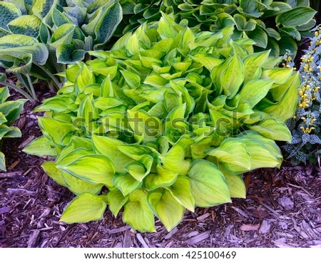 Green and Gold Variegated Hosta, Hostas are Perennial Plants That Grow in Shady Areas - stock photo