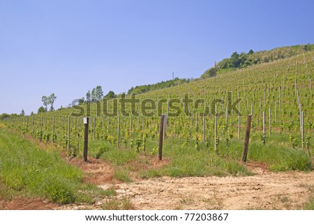 Green and gorgeous vineyard with blue sky in the back - stock photo
