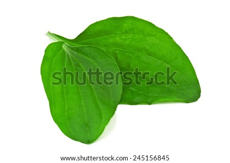 green and lush plantain leaves on white - stock photo