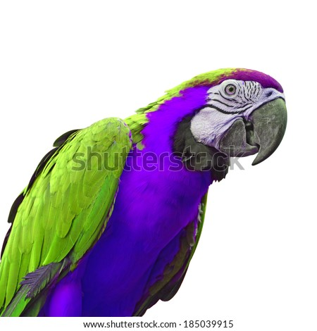 Green and purple macaw parrot closeup, white background  - stock photo