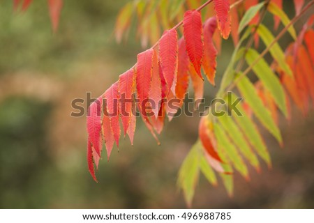 Green and red autumnal leaves of Sumac. Sumac is used as a spice in  Middle Eastern cuisine.