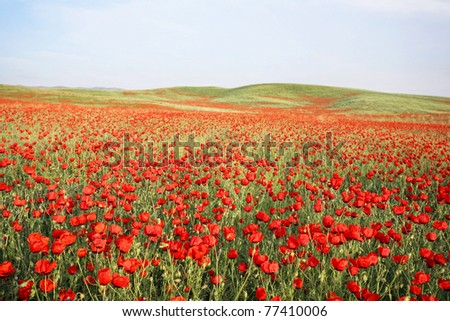 green and red beautiful poppy flower field background - stock photo