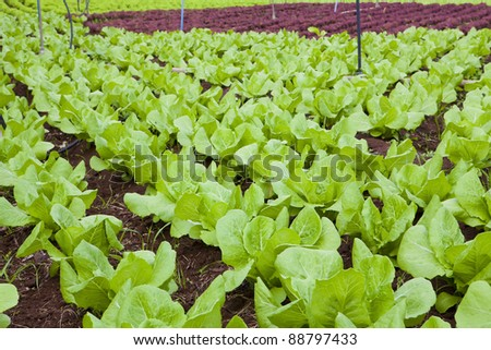 green and red healthy lettuce growing in the soil