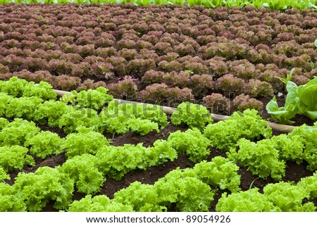 Field green lettuce under sun stock photo 95629399 for Soil and green