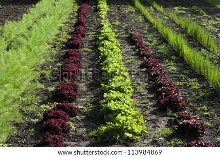 Green and red leafy vegetables cultivated in a outdoor bed - stock photo