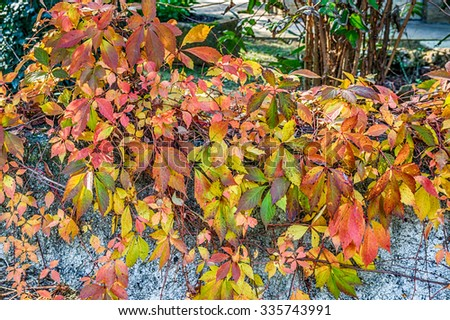 green and red leaves of virginia creeper on fence wall