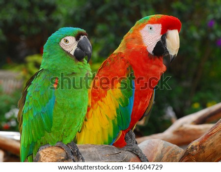 Green and Red Macaw Birds. - stock photo