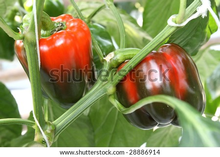Green and red peppers growing in a garden - stock photo