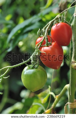 green and red tomatoes on foot in vegetable garden - stock photo