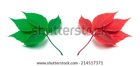 Green and red virginia creeper leaves isolated on white background - stock photo