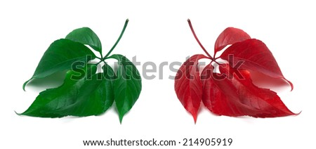 Green and red virginia creeper leaves. Isolated on white background. Close-up view. - stock photo