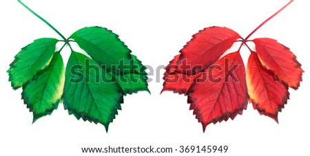 Green and red yellowed leaves (virginia creeper leafs). Isolated on white background - stock photo