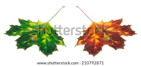 Green and red yellowed maple-leaf isolated on white background. Selective focus. - stock photo