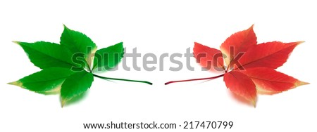 Green and red yellowed virginia creeper leafs. Isolated on white background - stock photo