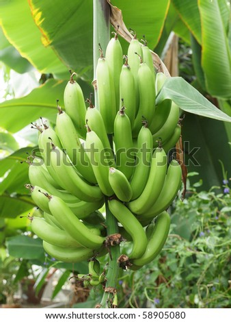 green and unripe cultivar bananas on tree