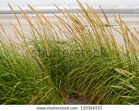 Green and Yellow Beach Grass with Swaying in the Wind - stock photo