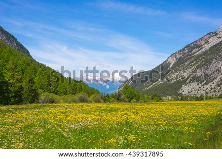 Green and yellow blooming meadow set amid idyllic mountain landscape with snowcapped mountain range Ecrins Massif mountain range (over 4000 m) in background. Queyras Regional Parc, French Alps. - stock photo