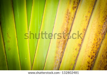 Green and yellow branch of palm. Dry leaf of tropical tree close up. Abstract background. Spotted old plant. Natural texture with parallel and geometric lines. Rippled structure of palm tree. - stock photo