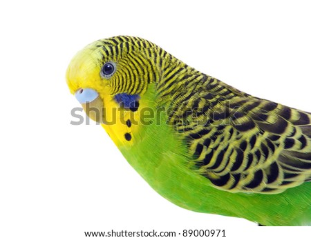Green and yellow budgie in front of a white - stock photo