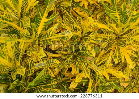Green and Yellow Croton Landscape Plant - stock photo