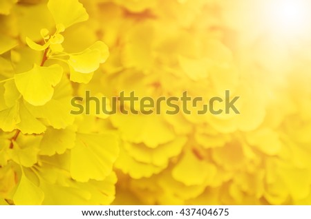 Green and yellow fall leaves of Ginkgo Biloba - healing plant, nature autumn sunny background - stock photo