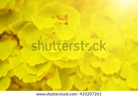 Green and yellow fall leaves of Ginkgo Biloba - healing plant, nature sunny background - stock photo